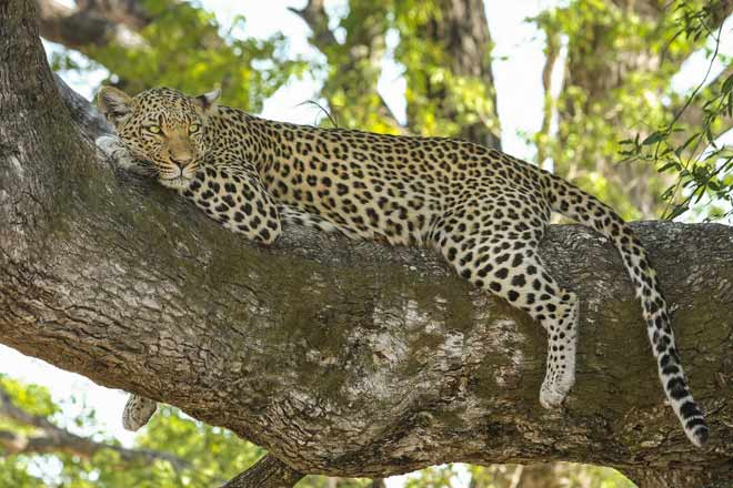 In equilibrio… come un leopardo!