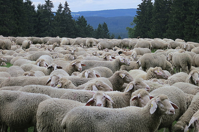 Si, hai capito bene, conta le pecore!