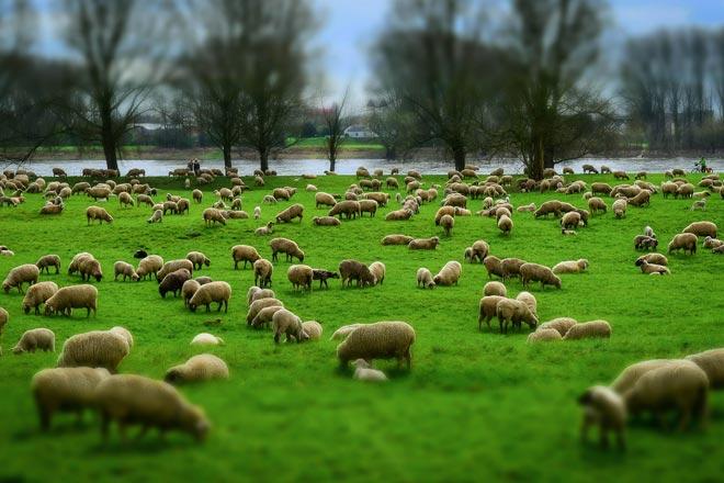 Perché si contano le pecore per dormire?
