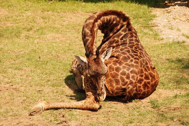 Annodato… come una giraffa!