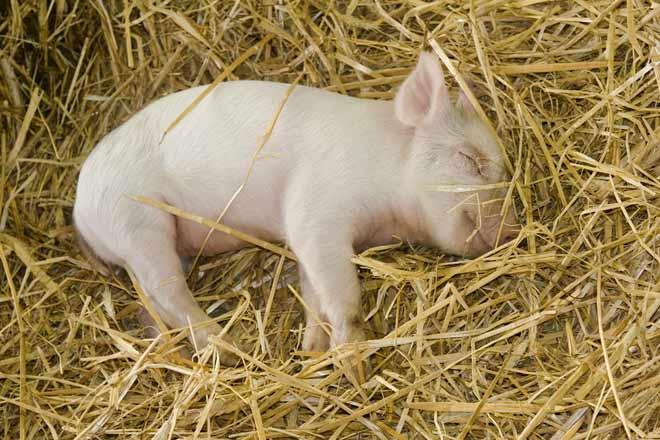 L'animale che più si avvicina alle nostre abitudini di riposo è… ...il maiale!