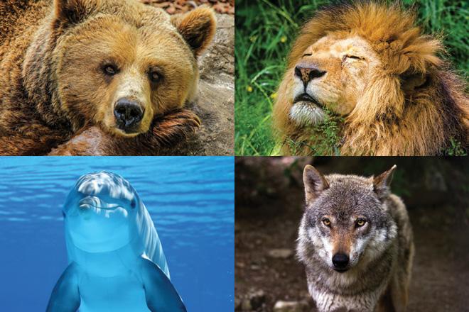 Dormi come un orso, un leone, un delfino o un lupo?